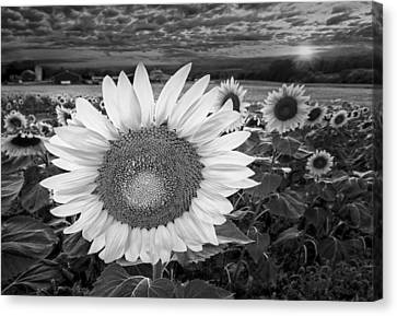 Sunflower Canvas Print - Sunflower Field Forever Bw by Susan Candelario