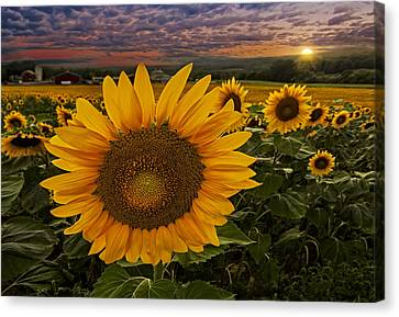 Sunflower Field Forever Canvas Print by Susan Candelario