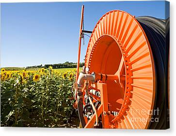 South Of France Canvas Print - Sunflower Field, French Provence by Adam Sylvester