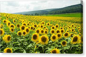 Sunflower Field Canvas Print by Gary Wightman