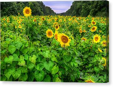 Canvas Print featuring the photograph Sunflower Field In Oil by Michael Donahue