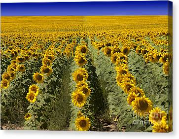 Sunflower Field Canvas Print by Juli Scalzi