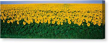 Sunflower Field, Maryland, Usa Canvas Print by Panoramic Images