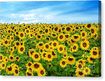 Canvas Print featuring the photograph Sunflower Field by Mike Ste Marie