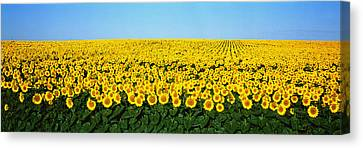 Sunflower Field, North Dakota, Usa Canvas Print by Panoramic Images
