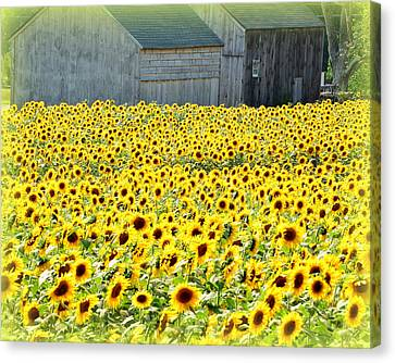 Sunflower Field Of Dreams Canvas Print by Kathy Kenney