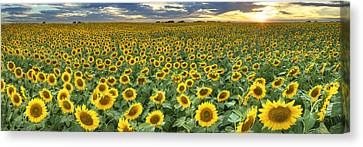 Sunflower Field Panorama - Texas Wildflower Images Canvas Print by Rob Greebon