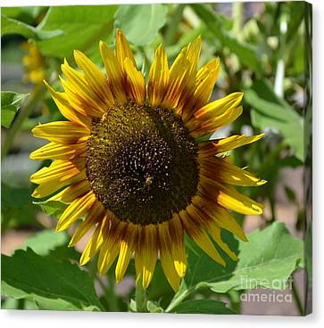 Sunflower Glory Canvas Print by Luther Fine Art