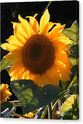 Sunflower - Golden Glory Canvas Print by Janine Riley