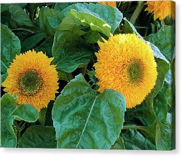 Sunflower (helianthus Annuus Tuberosus) Canvas Print