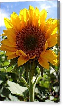 Sunflower Highlight Canvas Print by Kerri Mortenson