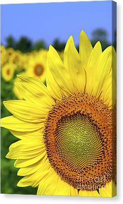 Sunflower In Field Canvas Print