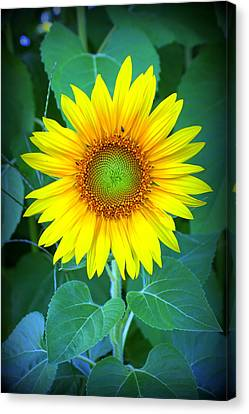 Sunflower In Green Canvas Print