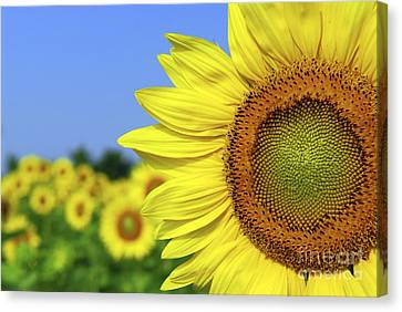 Sunflower In Sunflower Field Canvas Print by Elena Elisseeva