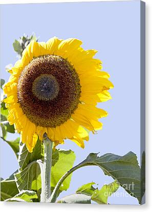 Sunflower In The Blue Sky Canvas Print by David Millenheft