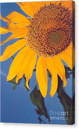 Sunflower In The Corner Canvas Print by Heather Kirk