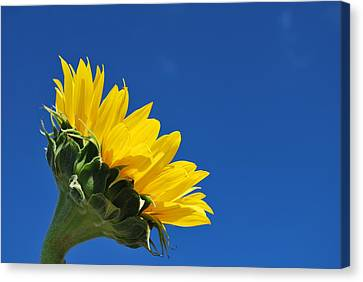 Nature Canvas Print - Sunflower In The Sky Series 1 Of 4 by May Photography