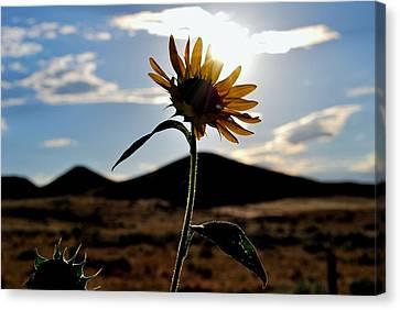 Sunflower In The Sun Canvas Print by Matt Harang