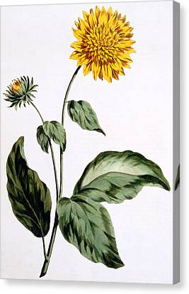 Horticultural Canvas Print - Sunflower by John Edwards