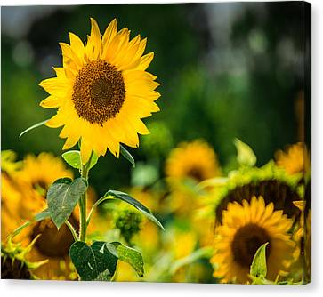 Sunflower Canvas Print by Jon Woodhams
