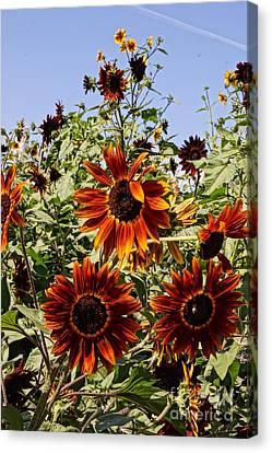 Sunflower Layers Canvas Print by Kerri Mortenson