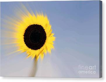 Sunflower Light Rays In The Wind  Canvas Print