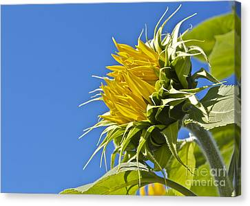 Canvas Print featuring the photograph Sunflower by Linda Bianic