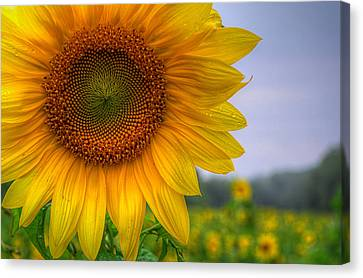 Sunflower Canvas Print by Michael Donahue