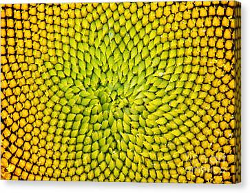 Sunflower Middle  Canvas Print by Tim Gainey