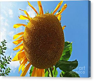 Sunflower Canvas Print by Olivia Narius