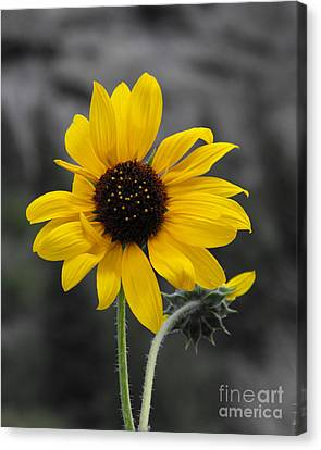 Sunflower On Gray Canvas Print