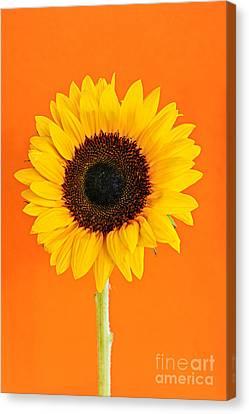 Sunflower On Orange Canvas Print by Elena Elisseeva