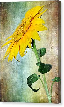 Sunflower On Textured Canvas Canvas Print by Kaye Menner