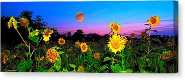 Sunflower Patch And Moon  Canvas Print by Randall Branham