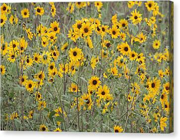 Sunflower Patch On The Hill Canvas Print by Tom Janca