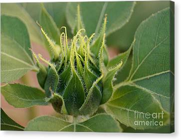 Sunflower Pod Canvas Print by Kerri Mortenson