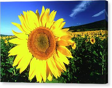 Sunflower, Provence, France Canvas Print by Peter Adams