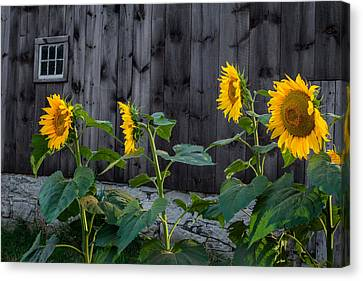 Old Barns Canvas Print - Sunflower Quartet by Bill Wakeley