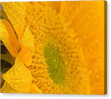 Sunflower Raindrops Canvas Print by Joan Herwig