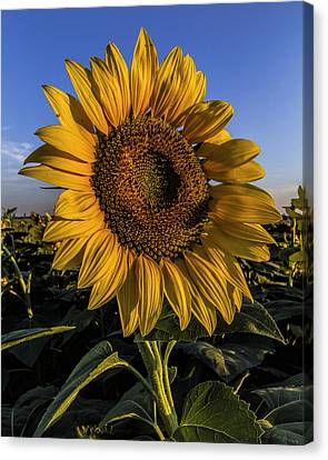 Canvas Print featuring the photograph Sunflower by Rob Graham