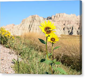 Sunflower Canvas Print by Robin Williams