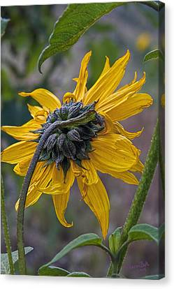 Canvas Print featuring the digital art Sunflower by Sharon Beth