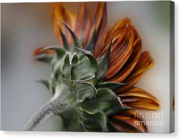 Sunflower Canvas Print by Sharon Mau
