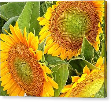 Sunflower Smiles Canvas Print by Kim Bemis
