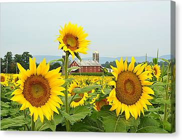 Sunflower Splendor #1 - Mifflinburg Pa Canvas Print
