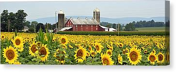 Sunflower Splendor Panorama #1 - Mifflinburg Pa Canvas Print