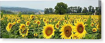 Sunflower Splendor Panorama #2 - Mifflinburg Pa Canvas Print