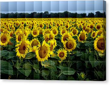 Canvas Print featuring the photograph Sunflower Squared by Kathy Churchman