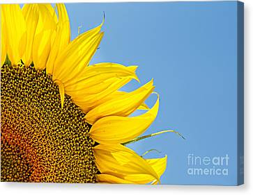 Sunflower Canvas Print by Stela Taneva