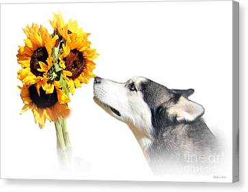 Sunflower Canvas Print by Stephanie Laird